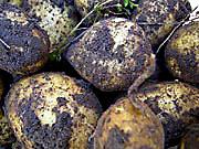 Färskpotatis just kommen ur jorden