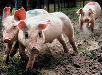 Kultingarna är som barn! Dom vill leka och ha kul och inte bli behandlade som svin!
