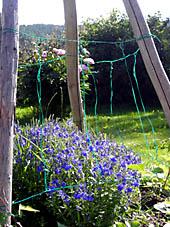 När veronikan med sina underbart blåa blommor blommat ut skjuter rosenbönorna i höjden och börjar klättra.