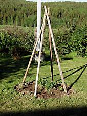 Hässjevirke som klätterställning för rosenbönor.