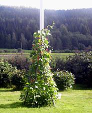 Rosenbönorna har klätt in hela ställningen. Vackert! Nytta med nöje eftersom växten går att äta. Bönan är god och nyttig.