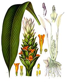 225px-Curcuma_longa_-_Köhler–s_Medizinal-Pflanzen-199