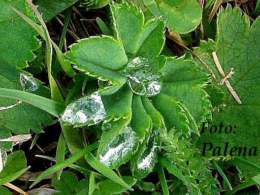De små dropparna lyser som diamnater! Naturens kvintessens som alkermisterna letade efter. Foto: Palena