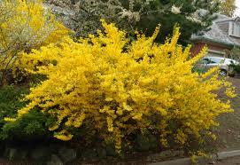 Forsythiasläktet (Forsythia) är ett växtsläkte i familjen syrenväxter med 11 arter i sydöstra Europa och östra Asien.