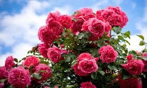 I mikroskop ser östrogen ut som en rosenbuske.
