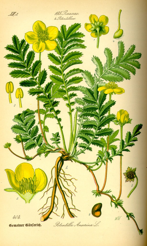 Illustration_Potentilla_anserina0