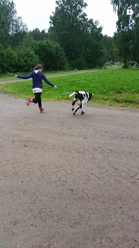 Den lilla kalven är ute och går med Klara!
